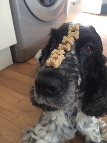 A dog with treats on their snout