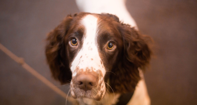 Close up of a spaniel
