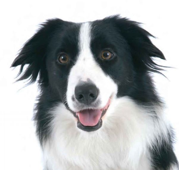 The head of a border collie