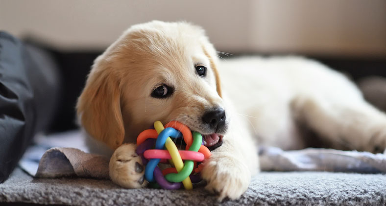 Puppy chewing their toy