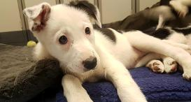 Border Collie puppy, Meg