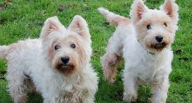 West Highland Terrier duo Luna and Casey