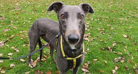 Martin the Greyhound at Dogs Trust Canterbury