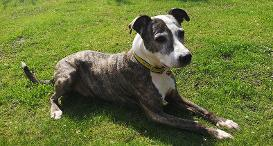 Wood the Staffy Cross at Dogs Trust Canterbury