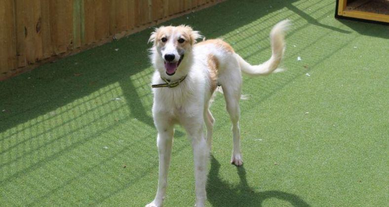 A Saluki Cross looking for a forever home at Dogs Trust Canterbury