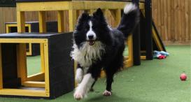 Collie, Patch, running at the rehoming centre.