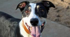 Rowland a 2-year-old greyhound cross collie