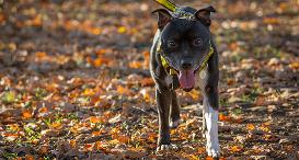 Bebe the Staffy at Dogs Trust Evesham