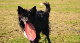 Collie Cross, Mylo, with a frisbee.