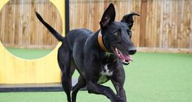 Sprite the Lurcher at Dogs Trust Glasgow