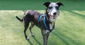 A rough-coated Lurcher at Dogs Trust Ilfracombe