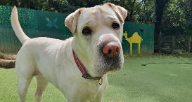 Maddie the Shar Pei at Dogs Trust Ilfracombe