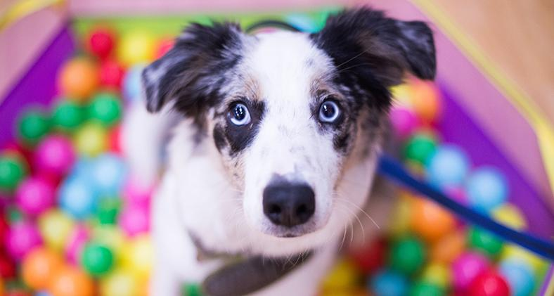 Collie puppy in a ball pit