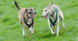 Two Lurchers running together