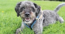 Biggle the grey toy poodle
