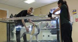 American Bulldog, Jake, in Dog Trust Loughborough's hydrotherapy tank.