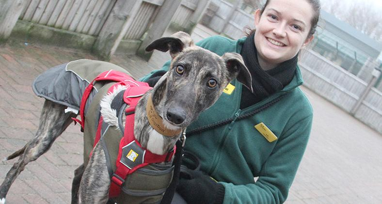 Marty the Lurcher at Dogs Trust Manchester