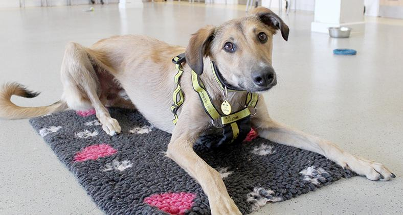 Gonzo the Lurcher at Dogs Trust Manchester
