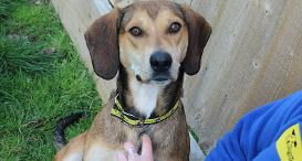 Wendy the Foxhound at Dogs Trust Newbury