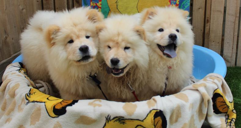 Lion King Chow Chows | News | Dogs Trust