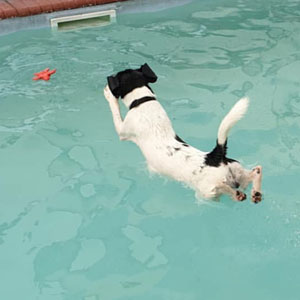 Rafi the search rescue dog swimming