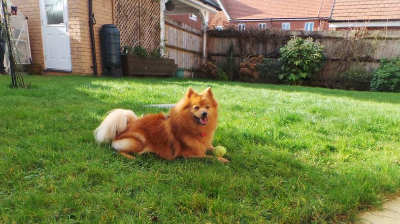 306574942a4e4 After 756 days at Dogs Trust Shoreham, long-termer Red Ted the German Spitz  has truly landed on his paws after being adopted by his new owners.