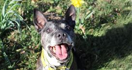 Buster the Staffy at Dogs Trust Shrewsbury