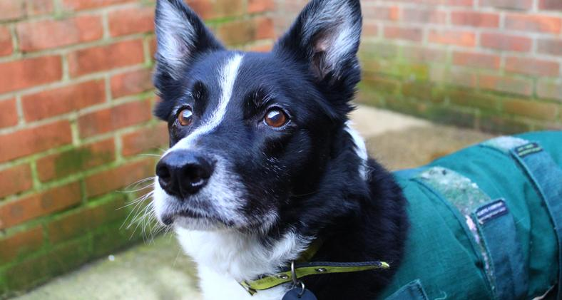 Rafa, a 10 year old Collie