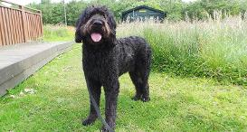 Ralfie the Labradoodle at Dogs Trust West Calder