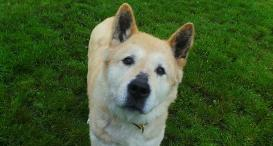 Nancy, an Akita, is looking for a home.
