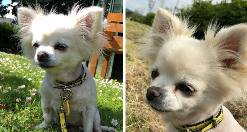 A Chihuahua named Kimberley from Dogs Trust West Calder.