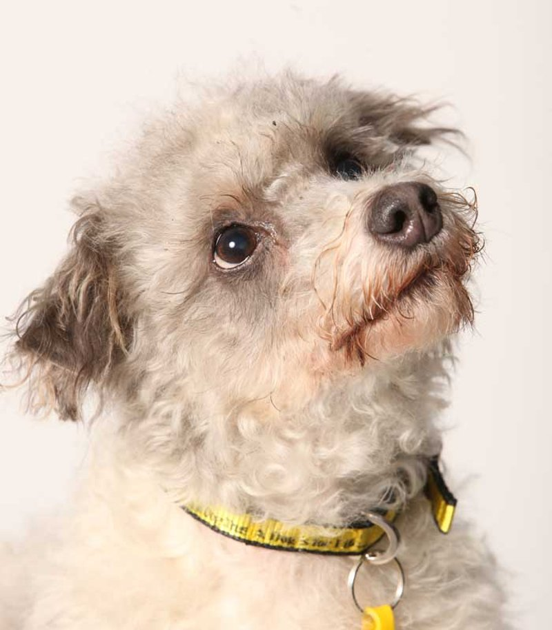 Poodle Cross Rescue Dogs Uk