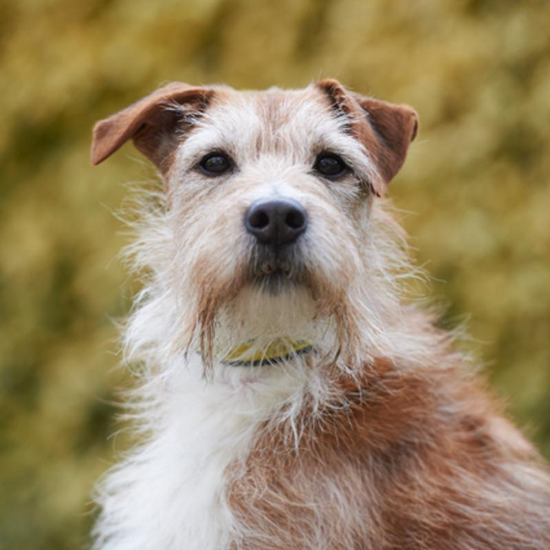 Sponsor A Dog Digby Tan And White Scruffy Haired Terrier Cross Dogs Trust