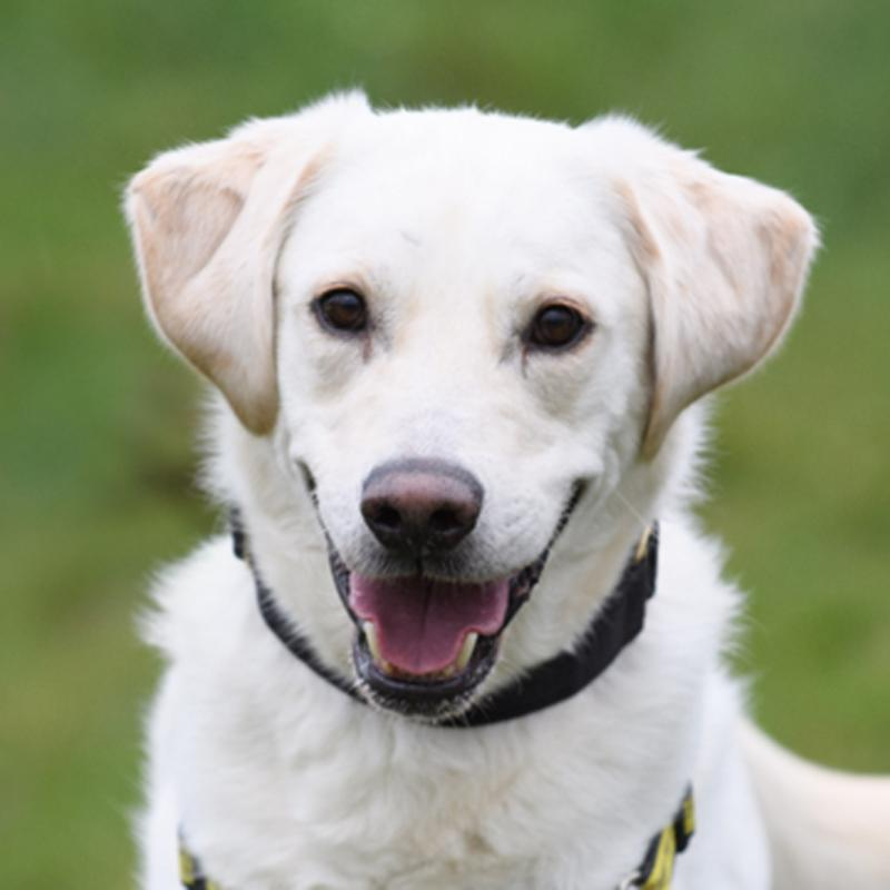 Image of: Canine Dogs Trust Animals In Distress Sponsor Dog Sheldon Labradorretriever Dogs Trust