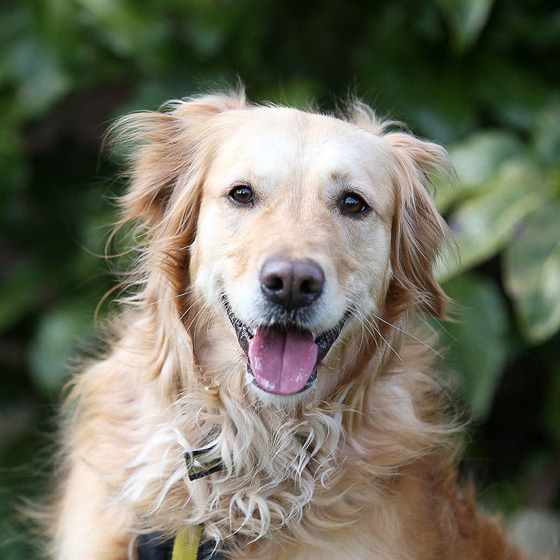 Honey the Golden Retriever, former Sponsor Dog from Dogs Trust Bridgend